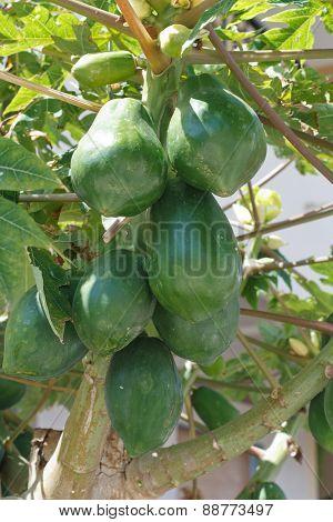 Papaya Tree With Unripe Fruits Close-up.