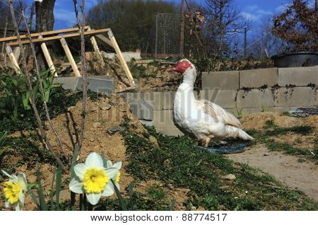 Muscovy duck drake in garden with white narcissus