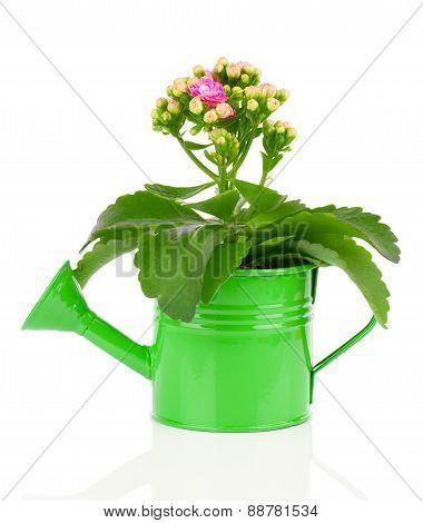 Kalanchoe Flower