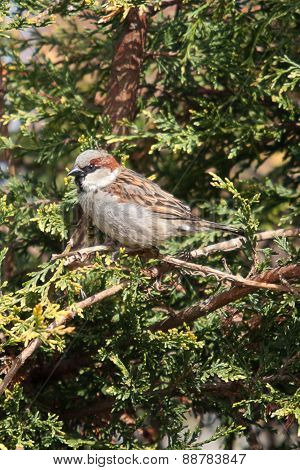 sparrow in hedge