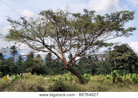 A huge tropical tree. Farm. Philippines. Palawan Island.