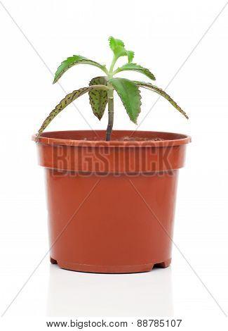 Bryophyllum Daigremontianum plant