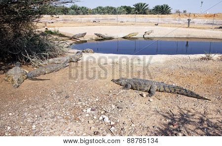 Nile Crocodili Tumescere Farm