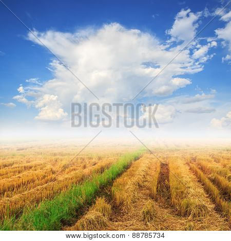 Cornfield And Fog On Blue Sky Background