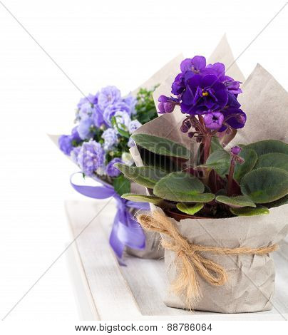 Blue Campanula Terry, Blue And White Saintpaulias Flowers In Paper Packaging