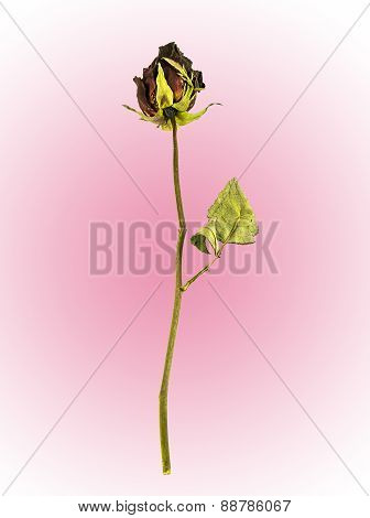 Dried Rose On Pink Background