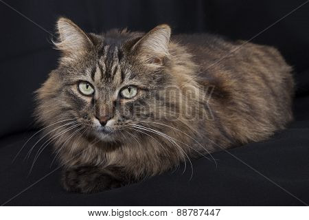Beautiful Cat Lies On A Black Background.