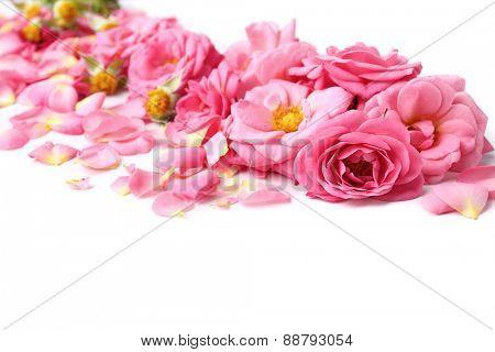 Beautiful pink rose petals, closeup