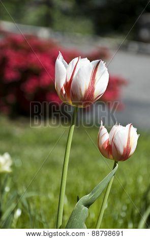 tulip mottled