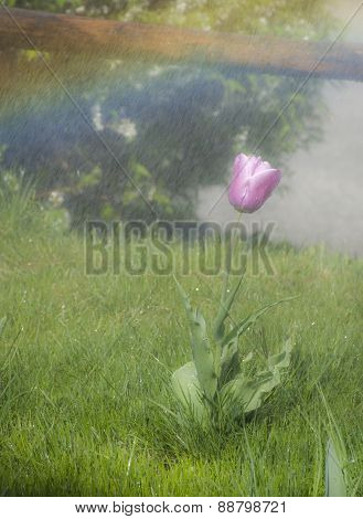 rainbow over the tulip