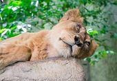 stock photo of sleepy  - Sleepy female lion keep looking at you - JPG
