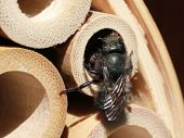 foto of masonic  - A Mason Bee finishing a nest in a bamboo tube