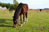 foto of brown horse  - Brown horse on the green meadow in summer - JPG