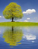 picture of linden-tree  - big old linden tree mirroring in lake  - JPG