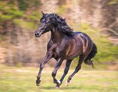 stock photo of wild horse running  - the black andalusian horse is running in the forest - JPG