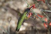 picture of feeding  - black chinned hummingbird  - JPG