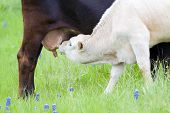 stock photo of calves  - Young calf suckling from its mother - JPG