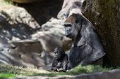 stock photo of gorilla  - new baby gorilla at the zoo staying close to his mother - JPG