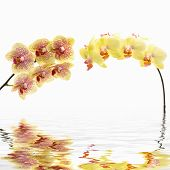 foto of yellow orchid  - Yellow flower branch orchid reflection - JPG