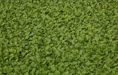 picture of  plants  - Tobacco cultivation young plants planting - JPG