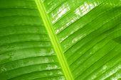 stock photo of rain  - banana leaf is refreshing rain drops after rain - JPG