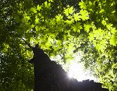 stock photo of maple tree  - Trunk and branches of the maple tree against the shining sun - JPG