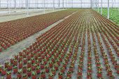 stock photo of cultivation  - Cultivation of small indoor plants in a Dutch greenhouse - JPG