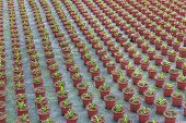 pic of cultivation  - Cultivation of small indoor plants in a Dutch greenhouse - JPG