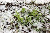 picture of spring-weather  - Spring snow cloudy weather nature disaster plant - JPG