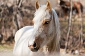stock photo of brown horse  - white and brown horse looking straight ahead  - JPG