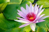 picture of day-lilies  - purple leaf lotus flower on water photo stockwater lily - JPG