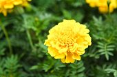 pic of marigold  - Yellow marigolds in the garden close up - JPG