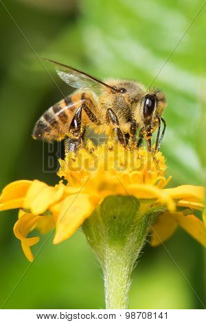 Common Bee (apis Melifera) Gathering Pollen From A Flower