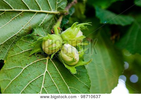 Green Hazelnuts Are Growing On The Tree