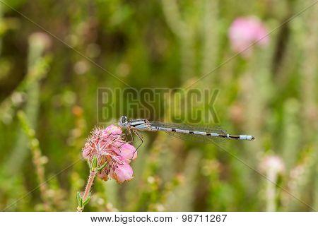 Blue Damselfly On Blooming Pink Heather
