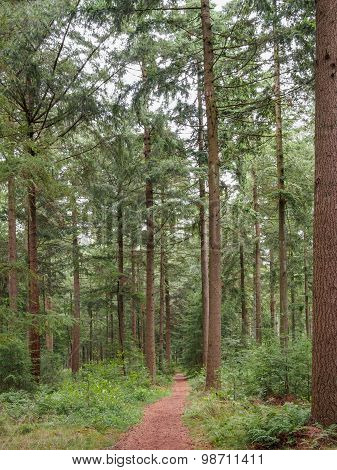 Brown Pine Straw Path Through Dutch Forest