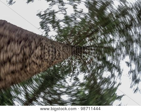 Spinning Up A Pine Tree