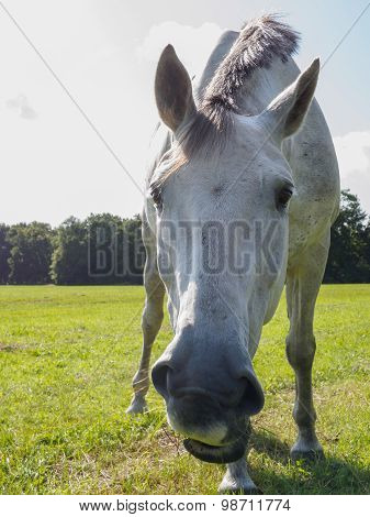 Closeup Of A White Horse From A Low Angle