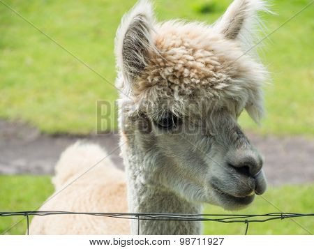 Closeup Of White Alpaca