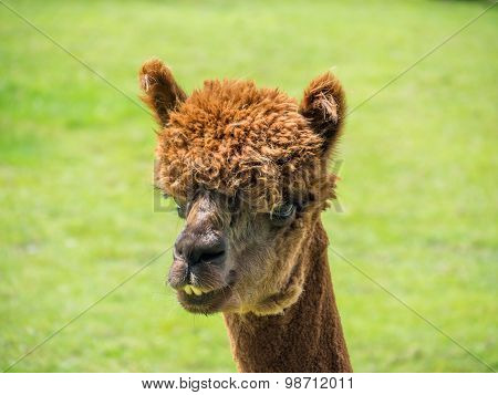 Closeup Portrait Of Brown Alpaca