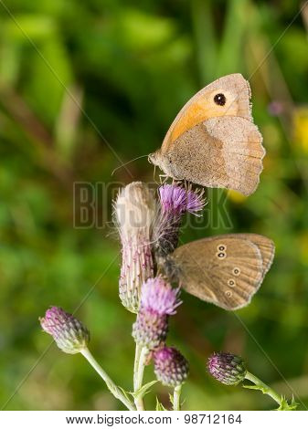 Pair Of Brown Butterflies