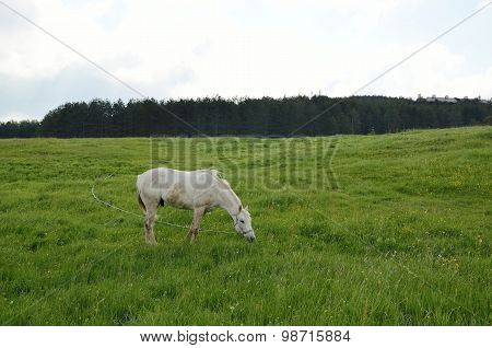 White Horse On Green Field
