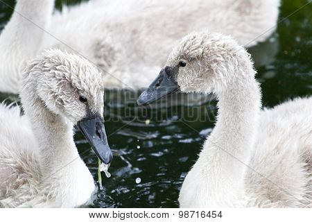 The Close-up Of Two Beautiful Young Swans