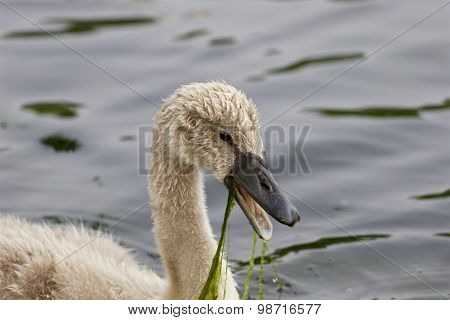 The Young Swan Is Screaming
