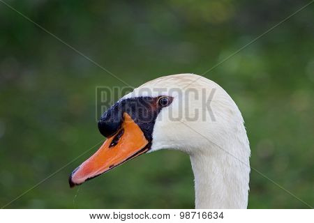 The Close-up Of The Thoughtful Swan