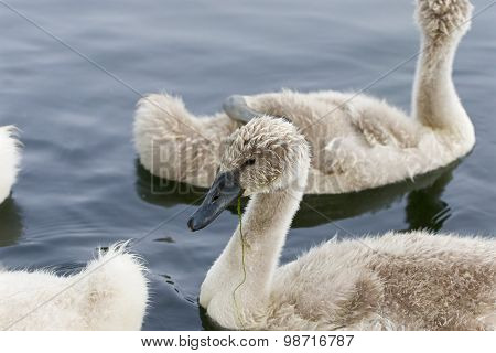 The Young Swans