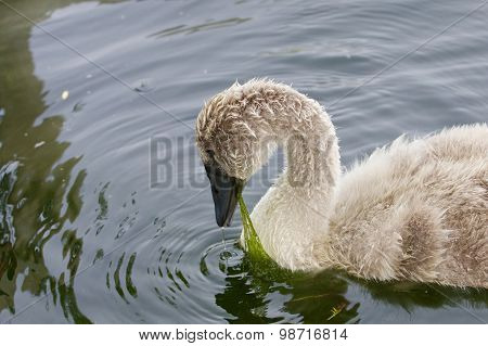 The Young Swan Is Eating The Algae
