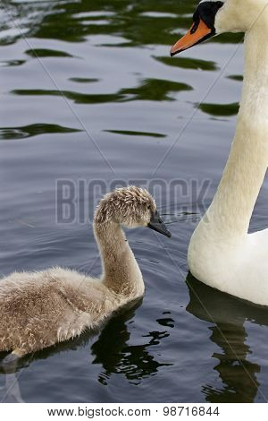 The Young Swan With His Mom