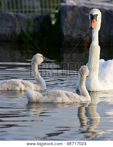 Weird Swan