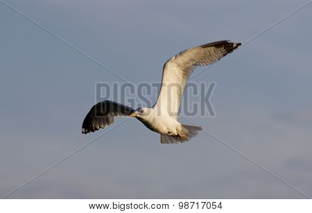 The Beautiful Flight Of The Gull